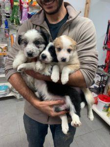 תמונה שצולמה לאחר מבחני גורים שנעשו עבור שגר של כלבים מגזע אוסטרלי